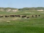 Buffalo on the way to Pine Ridge.