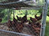 Chickens . . .