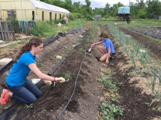 Kalyna and Erica plant potatoes.